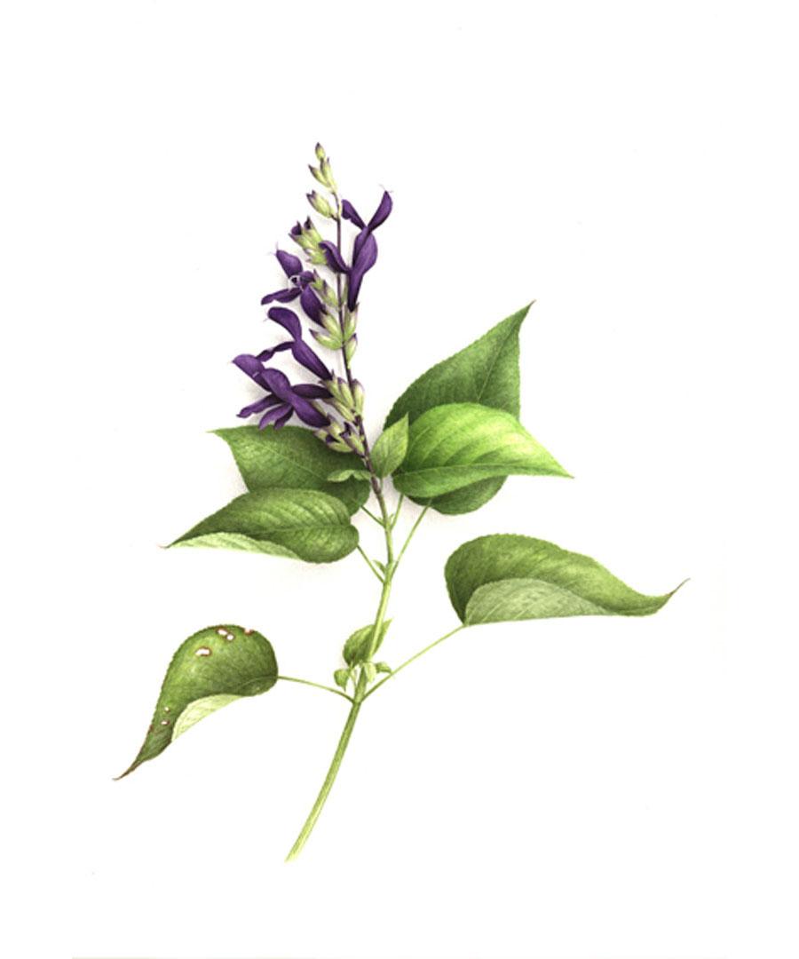 """""""Sauge Salvia"""""""